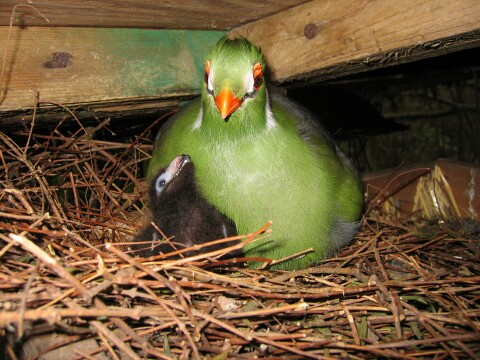 Movie of White-cheeked feeding Ross chicks.